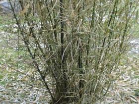 Stirbt Mein Bambus Krankheiten Und Schädlingsbekämpfung